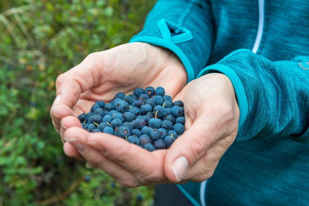Bild Beeren sammeln